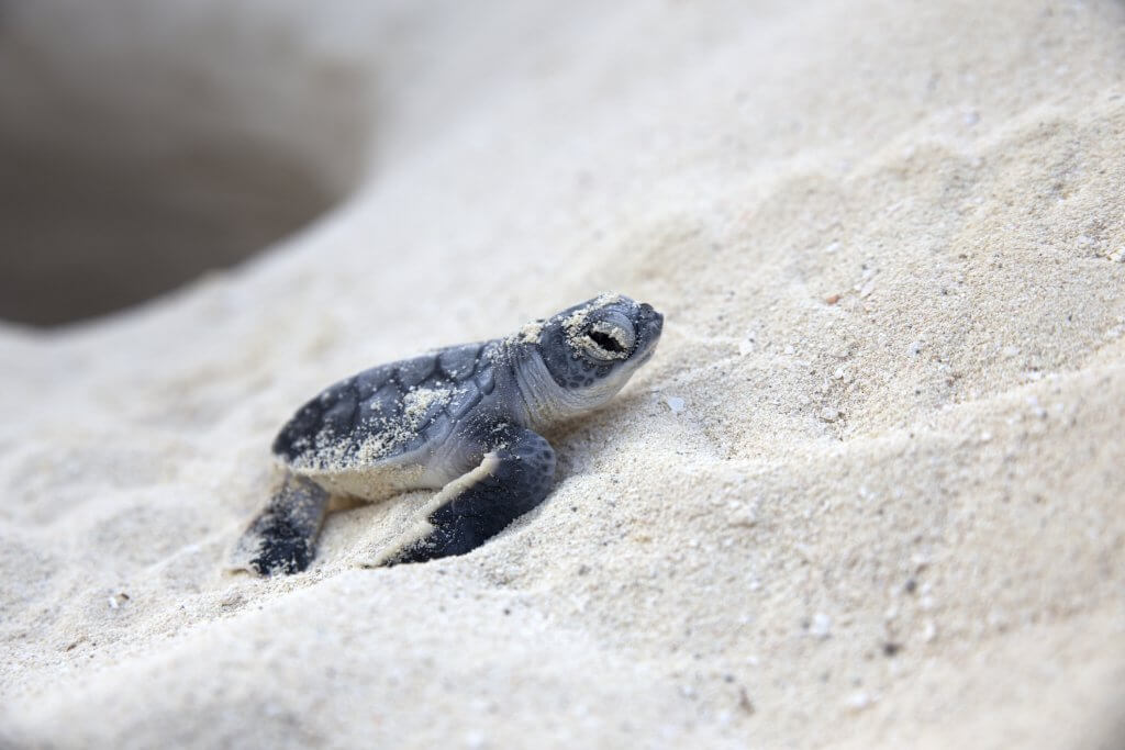 It's Sea Turtle Nesting Season on Sanibel Island
